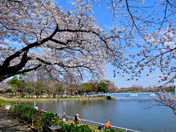 Sakura3262013d